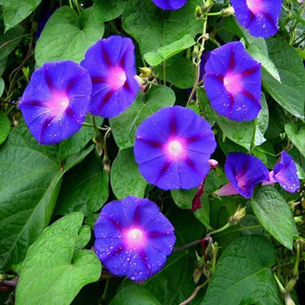 Ipomoea purple: photo