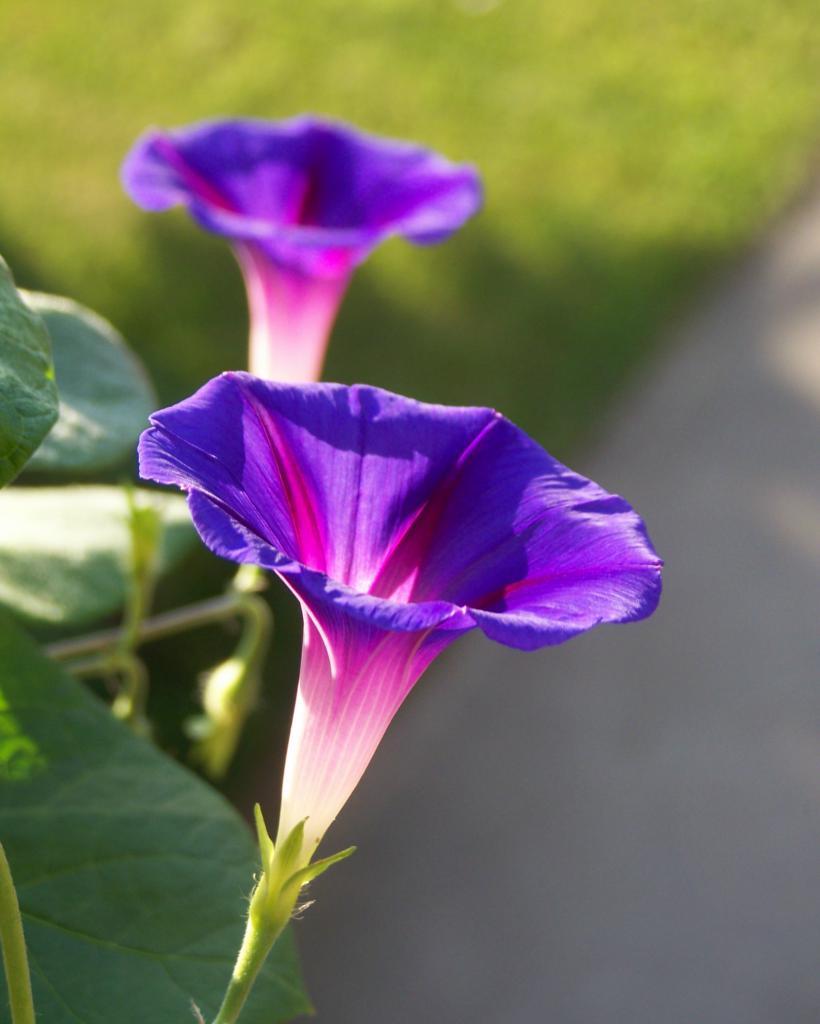 Uprawa Ipomoea purpurea