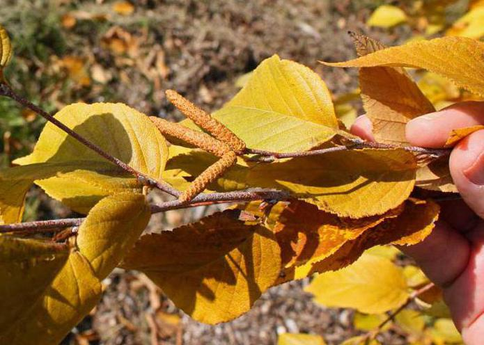 Značilnosti lesa Birch Schmidt