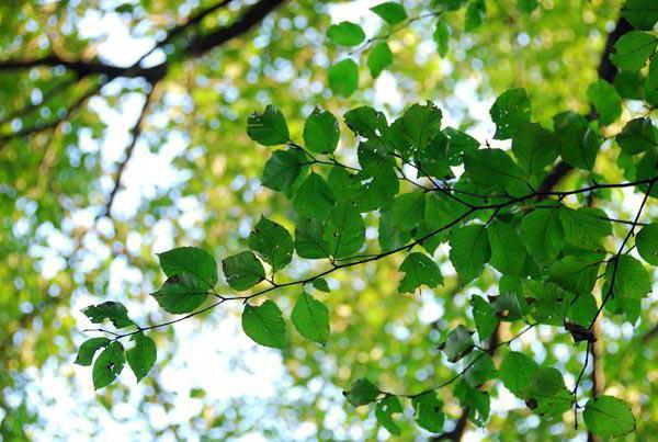 fotografija breze schmidt