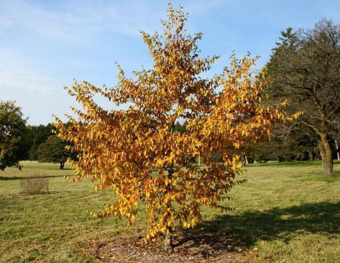 breza Schmidtov les