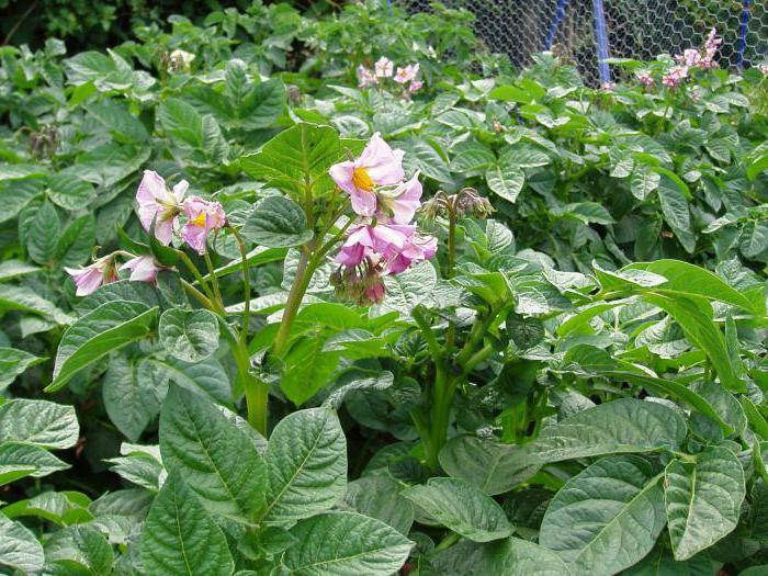 devo raccogliere fiori dalle patate