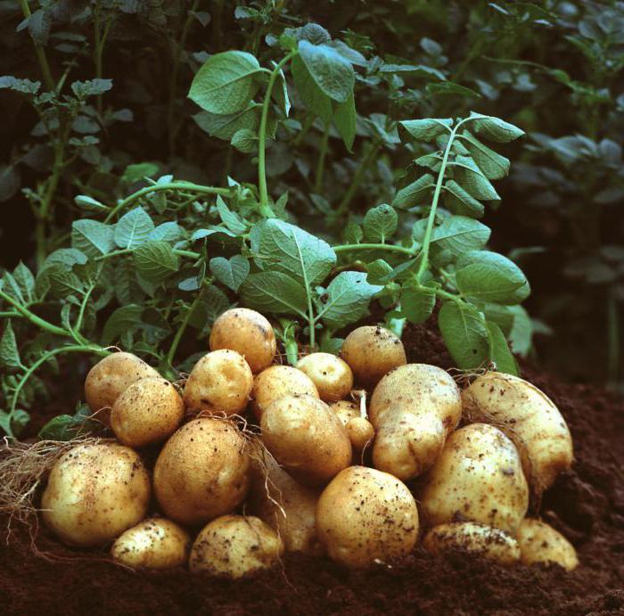 cura delle patate durante la fioritura