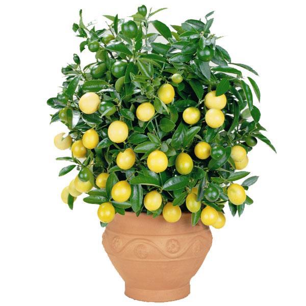 rastu limun kod kuće