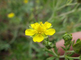 Silverweed srebro: opis