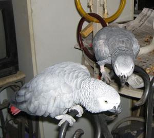 koliko živi papiga jaco