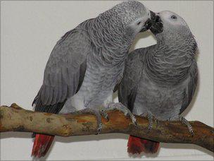 parrot jaco recenzije