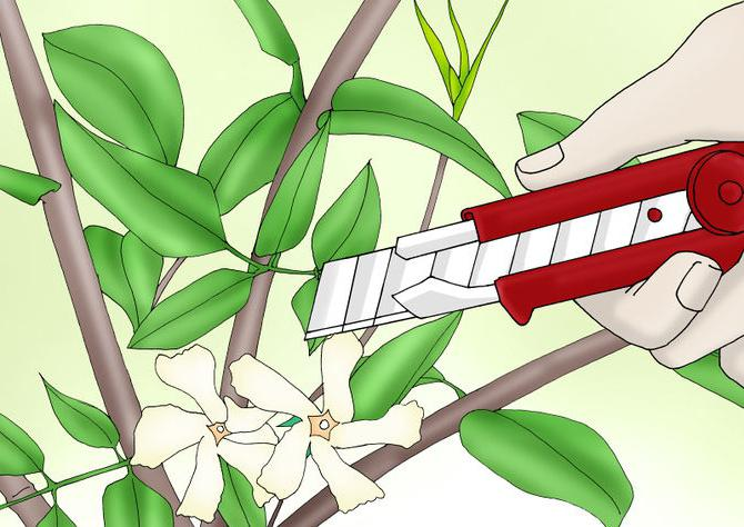 jasmínový květ vnitřní
