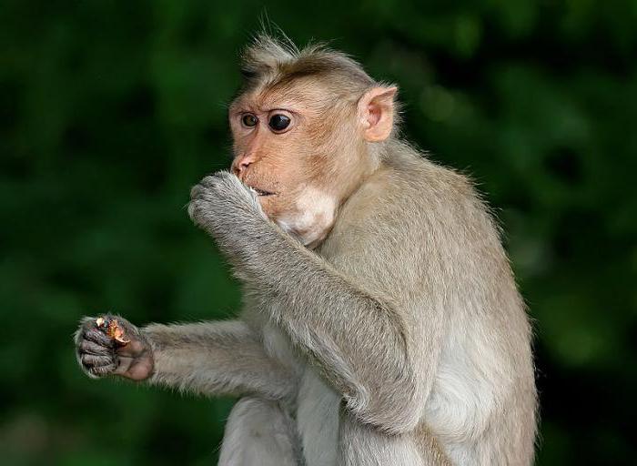 scimmia java