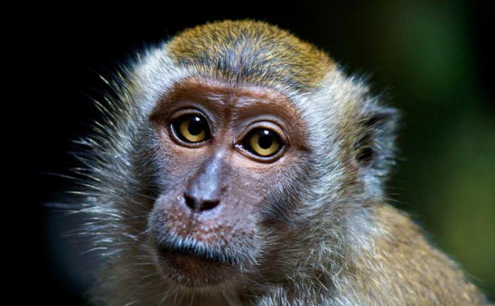 java macaque Prezzo