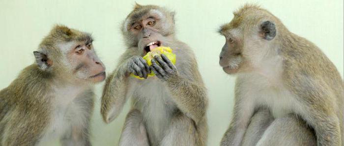 java macaque a casa