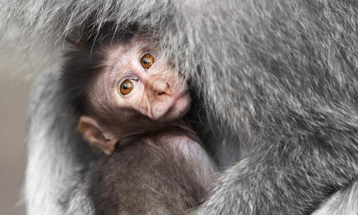 contenuto di scimmia java a casa