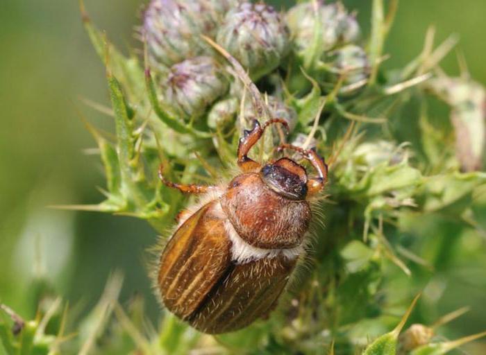 Czerwcowy chrząszcz