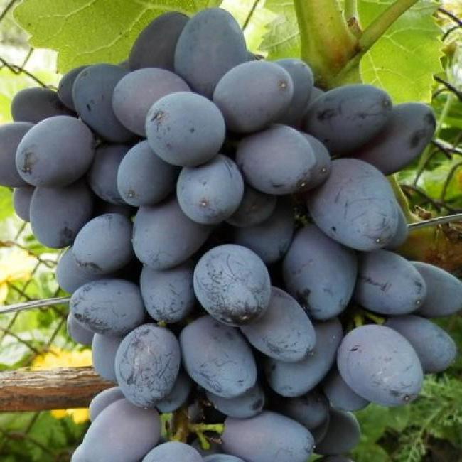 Fotografija opisa sorte grozdja Jupitra