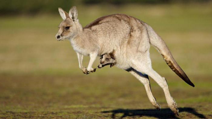 rojstni kengur