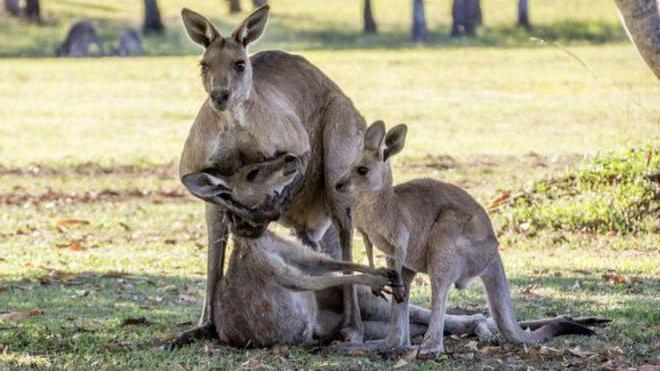 kako se rodi kenguru
