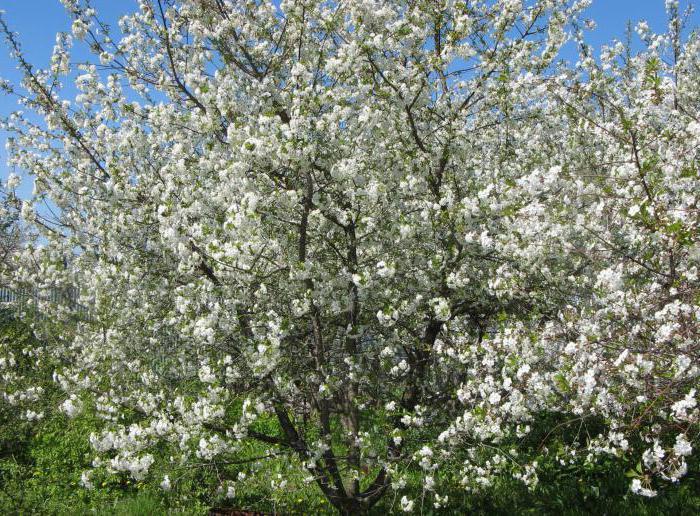třešňové květy stříkat
