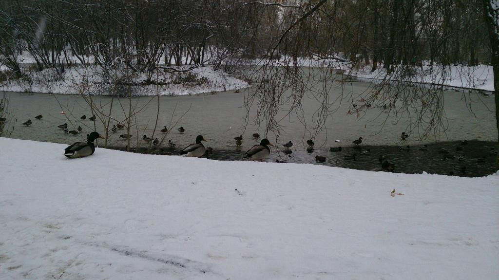 патке на језеру