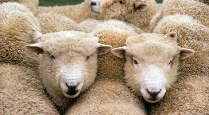 Descrizione della razza ovina di Kuibyshev