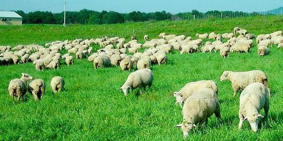 Caratteristica delle pecore di razza Kuibyshev