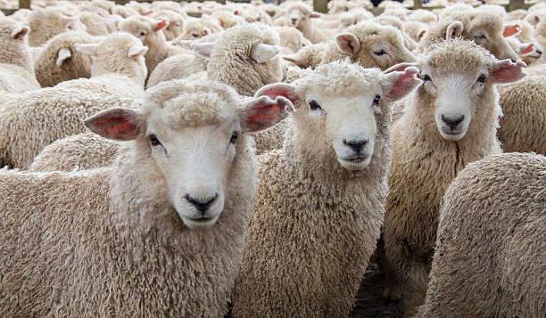 Recensioni di pecore di razza Kuibyshev