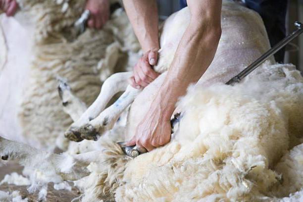 quanti agnelli portano pecore di Kuibyshev