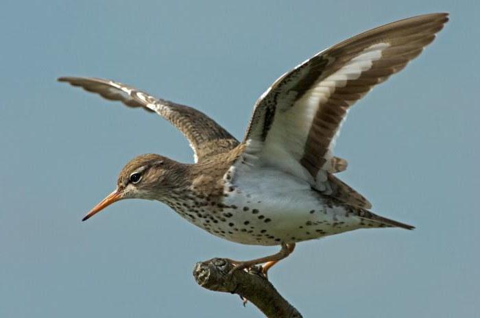 foto dell'uccello del sandpiper