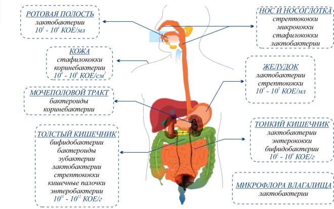 lactobacillus spp in striscio