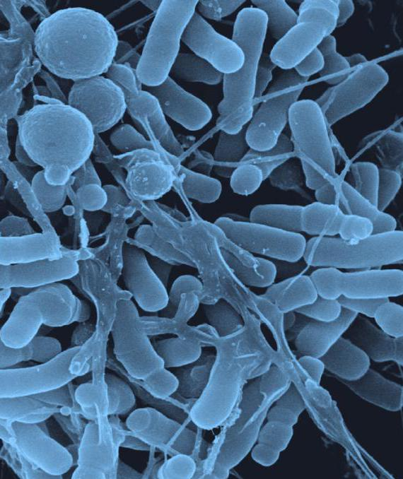lactobacillus spp in una macchia per le donne