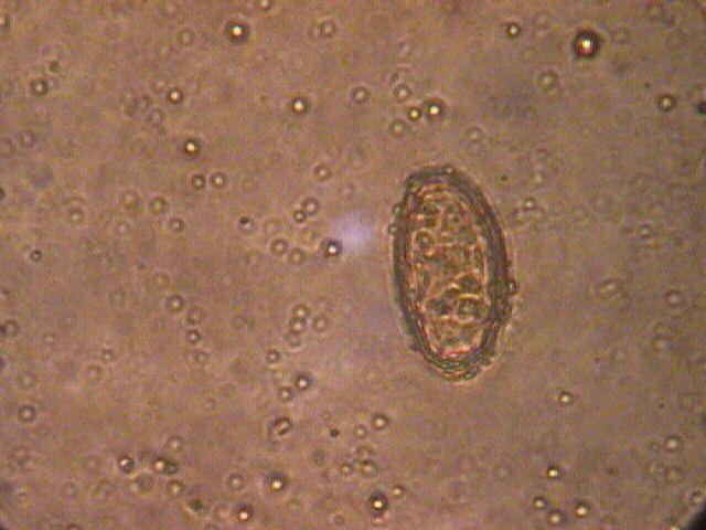 morfologia del ciclo vitale di lancet fluke