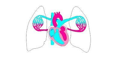 cerchi grandi e piccoli di circolazione del sangue