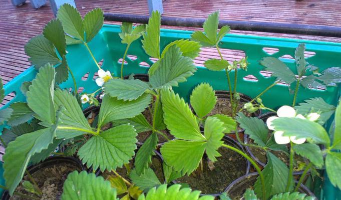 come piantare le fragole in primavera