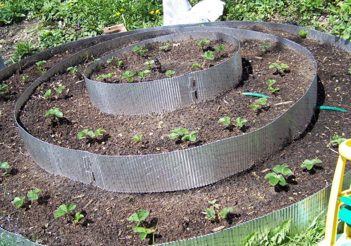 come piantare le fragole con i baffi