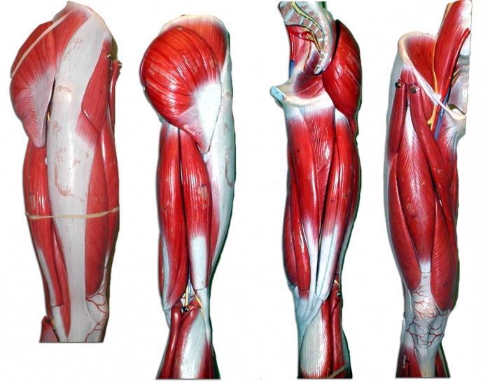 Anatomia dei muscoli delle gambe