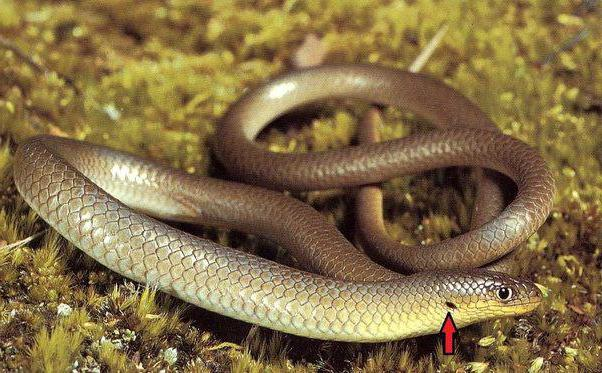 Qual è la differenza tra una lucertola senza gambe e un serpente?