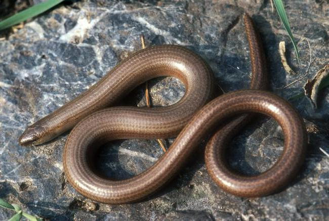 Lucertola serpentina senza gambe