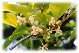 Čínské lemongrass hojení vlastnosti