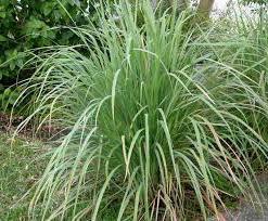 vlastnosti citrónové trávy