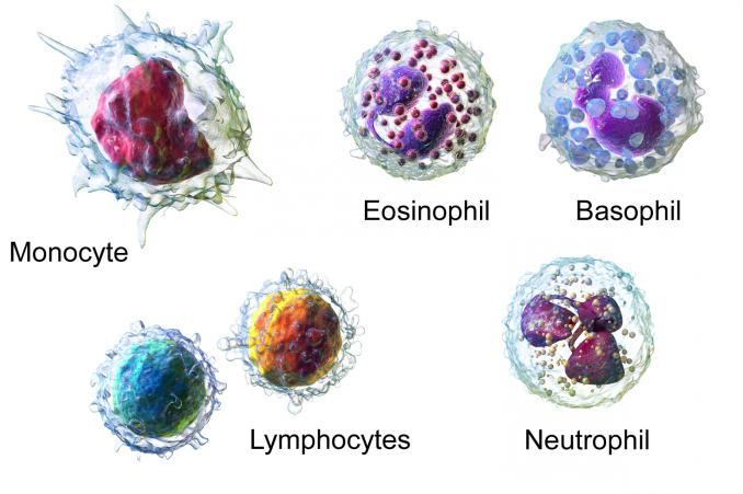 formula dei leucociti