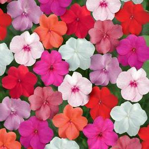 luce di fiori o foto bagnata di Vanka