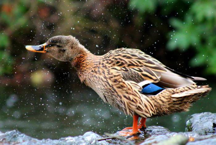 jak znaczenie idiomu wody gęsiej