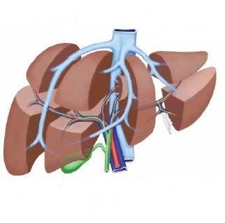 anatomie jater