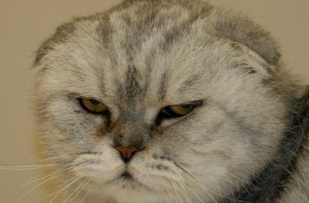 gatto piega scozzese