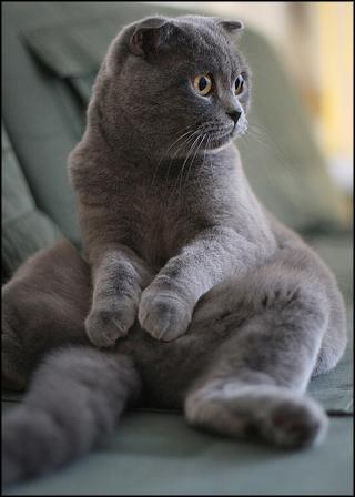 gatto per accoppiamento Scottish Fold