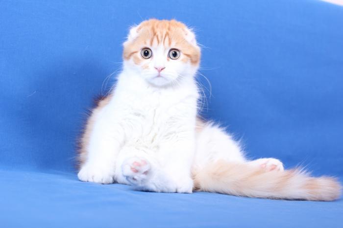 cosa dare da mangiare a un gatto Scottish Fold
