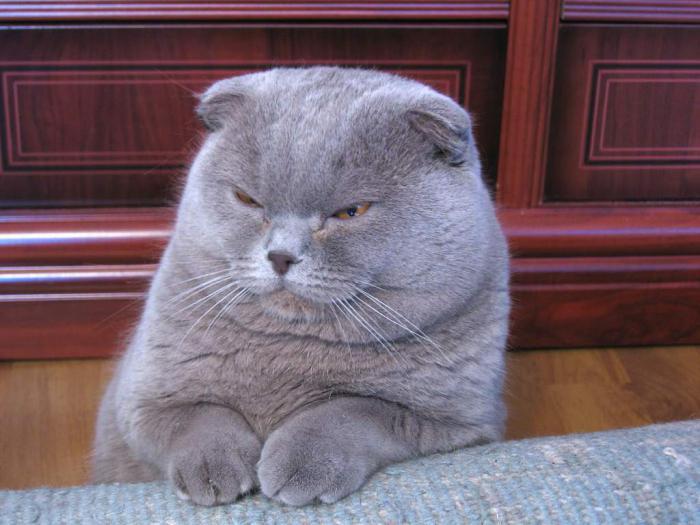 gatto piega scozzese Prezzo