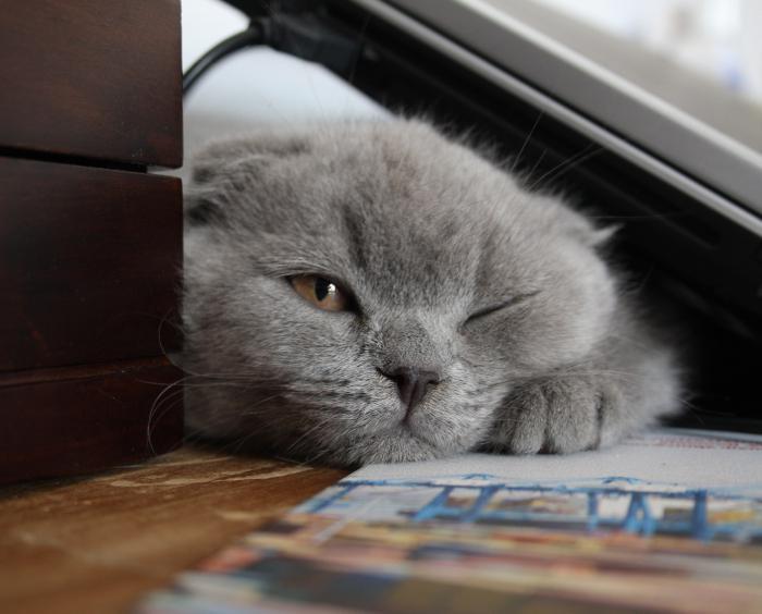 razza gatto piega scozzese