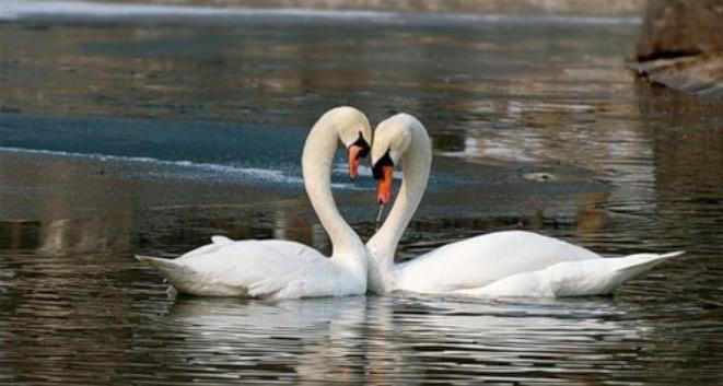 значението на лоялността на идиома лебед