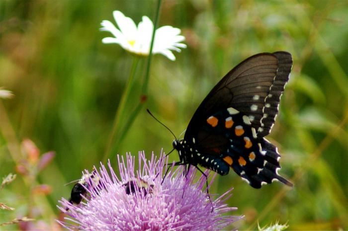fotografija s leptira machaon
