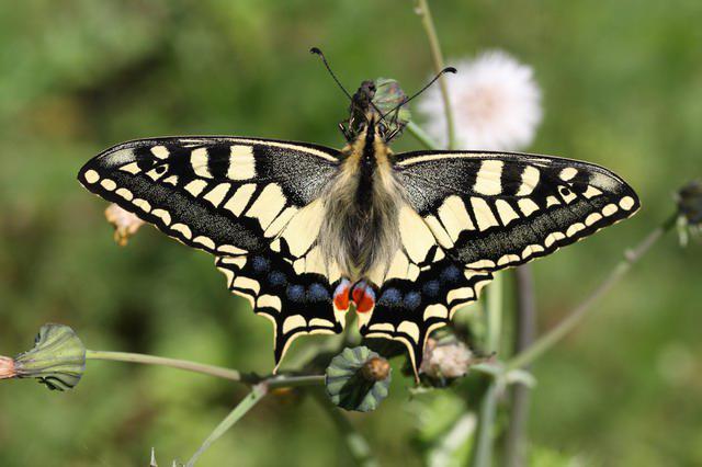 opis leptira machaon